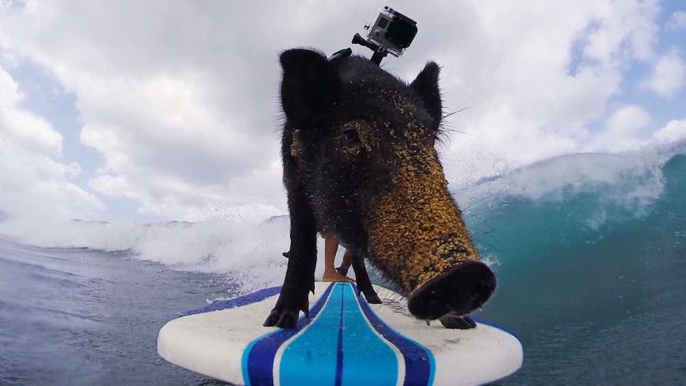 Kama the Surfing Pig