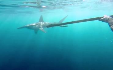 GoPro Hammerhead Shark
